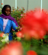 Woman harvests roses at a flower farm in Ethiopia