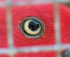 eye_of_female_eclectus_parrot_seen_through_wire_mesh_LBM